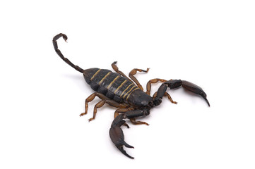 african scorpion isolated on white background