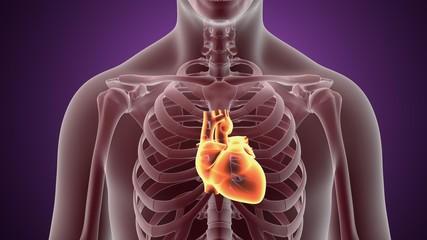 3D illustration human body heart