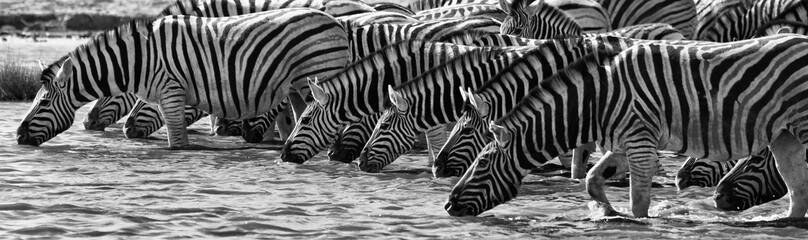 Foto op Canvas Zebra Zebras Drinking, Etosha National Park, Namibia