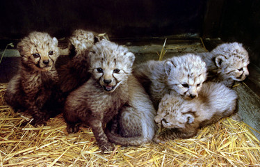 Agathe, Alize, Adonis, Athos, Aramis, Alpha and  Aioli are seven baby cheetahs  making their debut t..