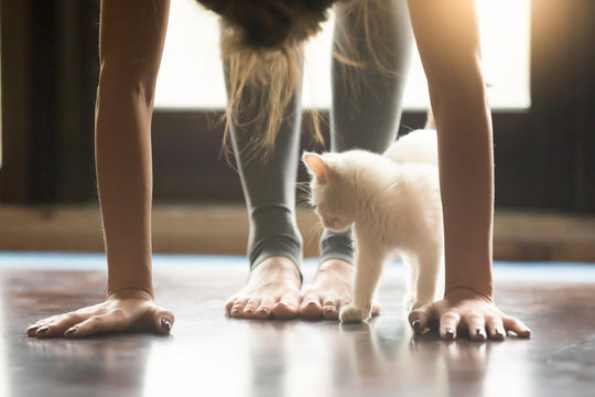 Yoga fitness with funny pet concept. Young woman practicing yoga, doing forward bend exercise, head to knees uttanasana pose, working out wearing sportswear grey pants, home interior, cute cat playing