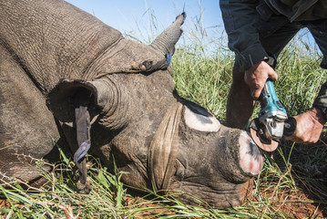 Dehorning Black Rhino for conservation