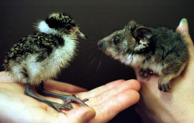 A Masked Lapwing chick (L) and a baby Ringtail Possum, both native to Australia, are held by keepers..