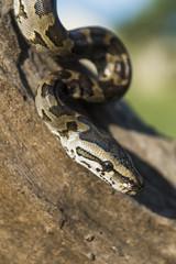 African Rock Python hatchling
