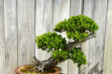 miniature evergreen  japanese bonsai tree