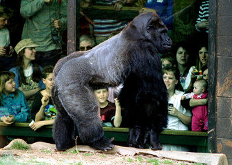 Ivan, the 32-year-old shopping mall gorilla from Tacoma, Wa., gets his first look at the outside wor..