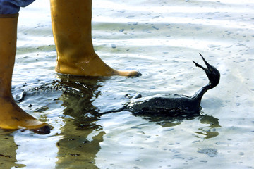 cormorant opens its beak desperately looking at a volunteer arriving at the shore December 30 to pic..