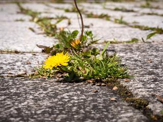 weeds bevor weeding on a blowzy courtyard