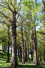 Bald cypress landscape