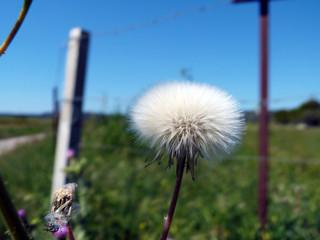 Fleur pissenlit