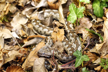 camouflage of nose horned viper in natural habitat