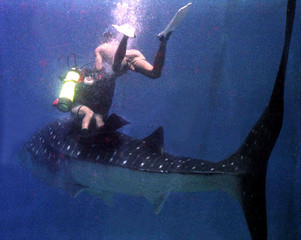 DIVERS EXAMINE THE DORSAL FIN OF THE WHALE SHARK IN BACON.