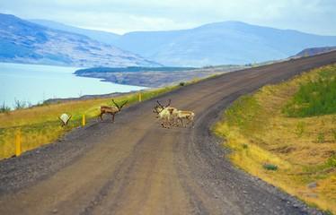 Ren / Rentiere (Rangifer tarandus) queren eine Schotterpiste in Ostisland, im Hintergrund der See Lagarfljót und Bergkette, Austurland/ Ostisland, Island/ Iceland, Europa