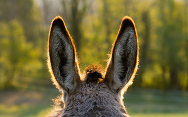 Foto auf Gartenposter Esel Donkey ears