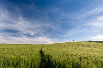 Wheat field, Grain field in sardinia