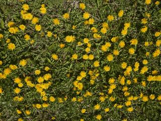 karahindiba çiçekleri ve ilkbahar dokusu