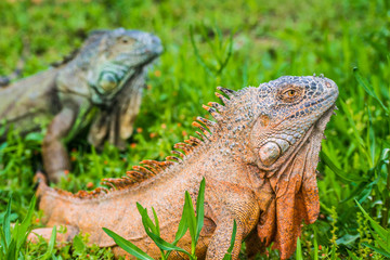Green Iguana Reptile Portrait Closeup