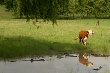 cow by the river
