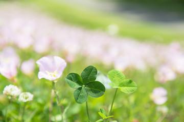 四つ葉のクローバーと月見草の花