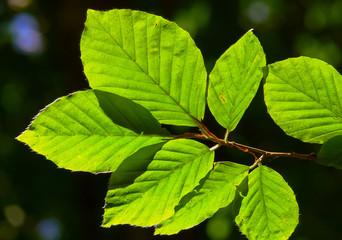 foglie di faggio (Fagus sylvatica) ramo controluce