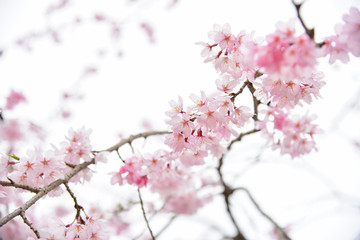 Wild Cherry Blossom Flowers Background
