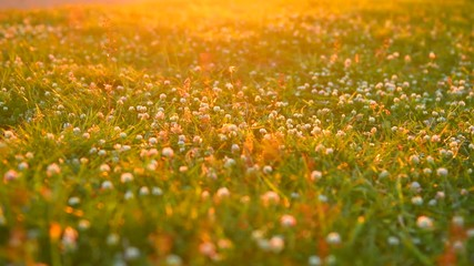 Fotoväggar - Beautiful meadow with clover wild flowers over sunset. 4K UHD video footage 3840X2160