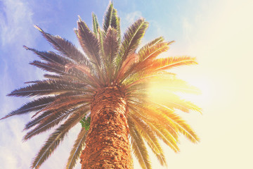 One tropical palm tree on blue sky background with sunshine, retro toned