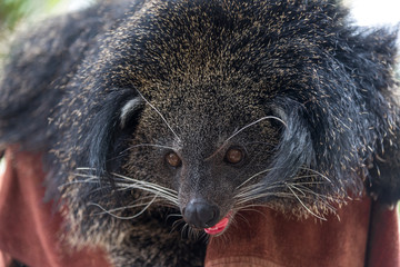 Arctictis binturong, Closeup picture of the binturong on branchCloseup picture of the binturong on branch.