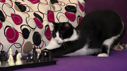 The smart black and white cat playing chess, difficult choice before the next move.