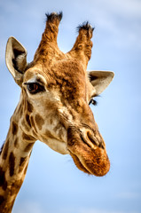 Portrait of giraffe on blue sky background.
