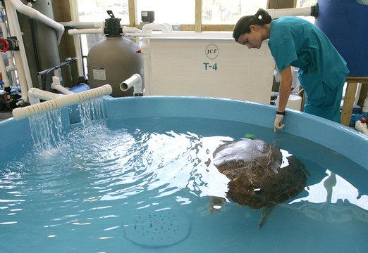 Hospital coodinator Erika Kemler checks on loggerhead sea turtle Dylan who is being rehabbed at the Georgia Sea Turtle Center on Jekyll Island.