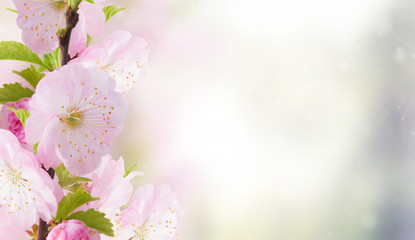 Blossoming cherry flowers on blue sky background banner