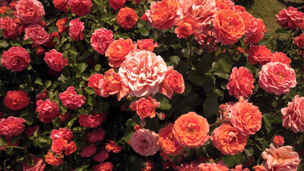 close up of orange and pink roses