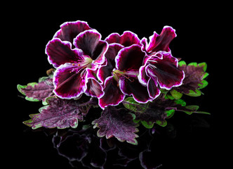 red and green nettle leaf with velvet purple geranium flower isolated on black background, Royal Pelargonium, close up