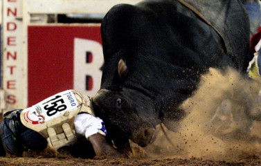 A cowboy is pinned to the ground by a bull at the Barretos Rodeo International Festival in Barretos