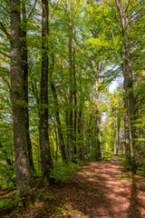 Waldweg mit Buchenbäumen, im Hintergrund die Waldlichtung