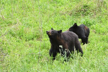 Black Bear with Yearling