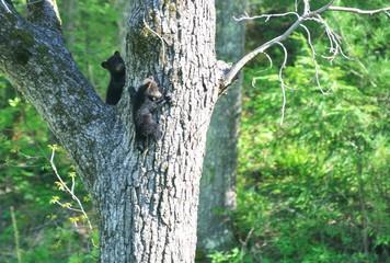 Climbing Bear Cubs