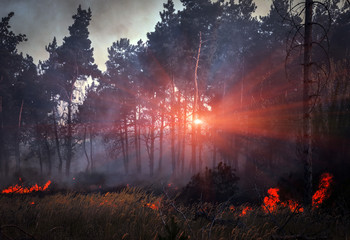 wildfire, burning pine forest at sunset.