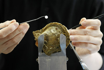 A pearl oyster farmer implants nucleus into a Japanese akoya shell to prepare for pearl cultivation in Shima