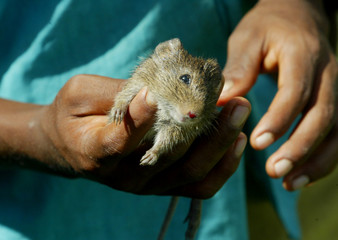 A young indigenous Miskito holds a dead rat in northern Nicaragua