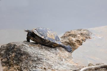 Turtle at Blue Hole  National Key Deer Refuge, Big Pine Key West Florida