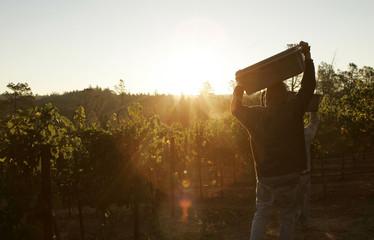 Worker heads to vineyard at sunrise during wine harvest season in California