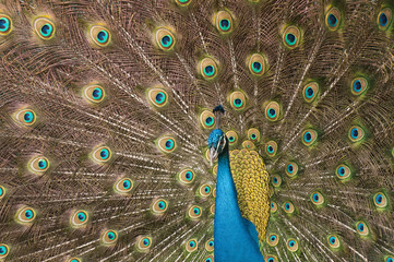 Male peacock with blue body surrounded by gold, brown, and blue green iridescent plumage.
