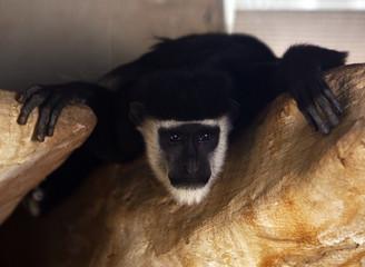 A ruffed lemur monkey look at visitors at Riyadh zoo