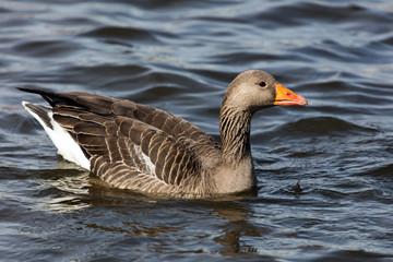 Greylag goose in the lake Tjornin, Reykjavik, Iceland