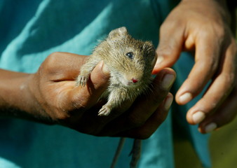 - PHOTO TAKEN 07OCT05 - A young indigenous Miskito holds a dead rat in the village of Lakus Ta in no..