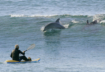 A surf ski paddler encounters dolphins surfing on a wave at Manly Beach in Sydney.