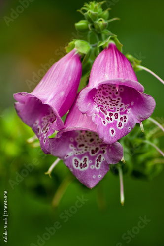 Tiny Purple Bell Shaped Flowers On A Green Background Stock Photo