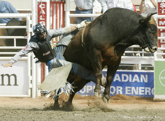Cowboy hangs onto bull Locomotion during Bull Riding event at Calgary Stampede in Calgary
